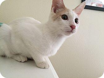 Domestic Shorthair Kitten for adoption in Hesperia, California - Lilikoi