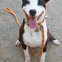 Pit Bull Terrier Mix Dog for adoption in Livermore, California - Niko