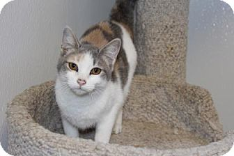 Domestic Shorthair Cat for adoption in Greensboro, North Carolina - Gracie