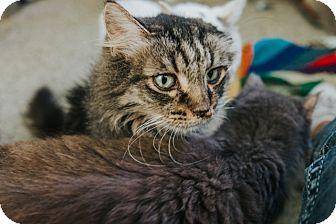 Domestic Mediumhair Cat for adoption in Indianapolis, Indiana - Geneva