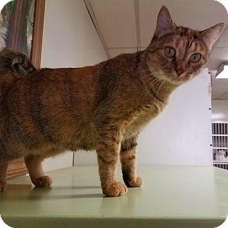Domestic Shorthair Cat for adoption in Indianola, Iowa - C-18