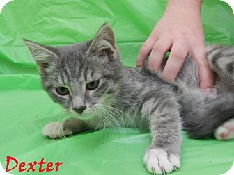 Domestic Mediumhair Kitten for adoption in Bucyrus, Ohio - Dexter