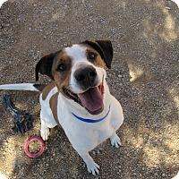 Adopt A Pet :: Bailey - Sierra Vista, AZ