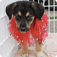 German Shepherd Dog Puppy for adoption in St. Bonifacius, Minnesota - Mickey Mouse