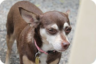 Chihuahua/Miniature Pinscher Mix Dog for adoption in Mechanicsburg, Pennsylvania - Holly