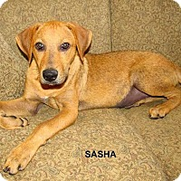 Adopt A Pet :: Sasha pending adoption - East Hartford, CT