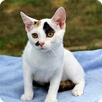 Adopt A Pet :: CALYPSO GIRL - Andover, CT