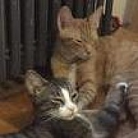 Adopt A Pet :: George and Mouse (Courtesy Post) - New York, NY