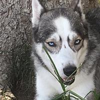 Adopt A Pet :: Alayna - Raleigh, NC