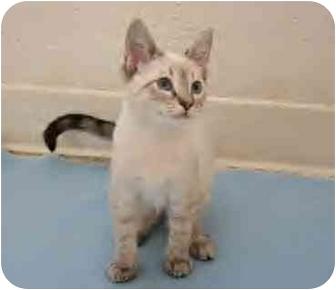 Siamese Kitten for adoption in San Diego, California - Pearl