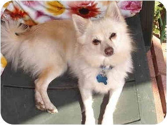 Pomeranian Mix Dog for adoption in Los Angeles, California - Lucy
