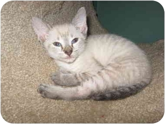 Siamese Kitten for adoption in Charlotte, North Carolina - Boomer
