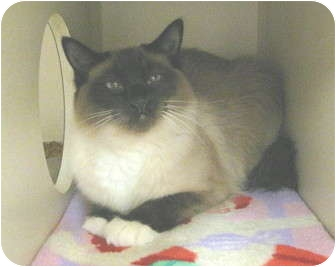 Birman Cat for adoption in Mesa, Arizona - White Paw