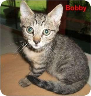 Domestic Shorthair Kitten for adoption in Slidell, Louisiana - Bobby