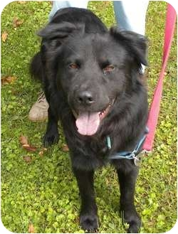Chow Chow/Labrador Retriever Mix Dog for adoption in Irwin, Pennsylvania - Franco