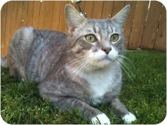 American Shorthair Cat for adoption in Pasadena, California - EDWARD