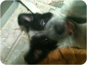 Border Collie Mix Puppy for adoption in Tucson, Arizona - April
