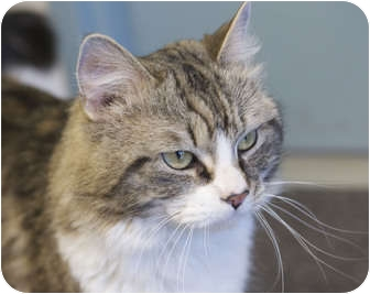 Maine Coon Cat for adoption in Medfield, Massachusetts - Amos