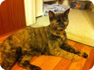 Domestic Shorthair Cat for adoption in Chicago, Illinois - Topaz