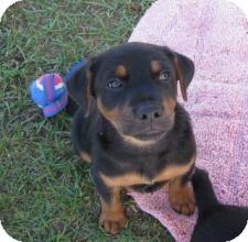Retriever (Unknown Type)/Doberman Pinscher Mix Puppy for adoption in Largo, Florida - CLYDE