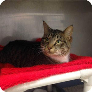 Domestic Shorthair Cat for adoption in Athens, Georgia - Jane