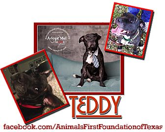 Retriever (Unknown Type)/American Staffordshire Terrier Mix Dog for adoption in Colleyville, Texas - Teddy