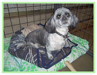 Lhasa Apso Dog for adoption in Medford, Wisconsin - RALPH