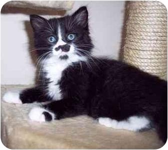 Domestic Mediumhair Kitten for adoption in Sacramento, California - Leo