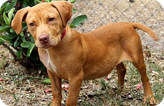 American Staffordshire Terrier Mix Puppy for adoption in Bradenton, Florida - Homer