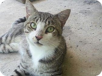 Domestic Shorthair Cat for adoption in Parkton, North Carolina - Junior