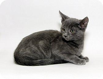 Domestic Shorthair Kitten for adoption in Yorba Linda, California - Ash
