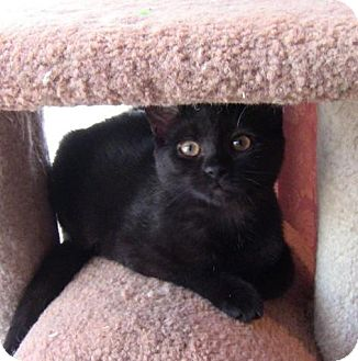 Domestic Shorthair Cat for adoption in Sterling Heights, Michigan - Littlebird-ADOPTED