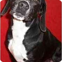 Adopt A Pet :: Willow - Indianapolis, IN