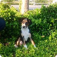 Adopt A Pet :: LeeLee - Leesburg, VA