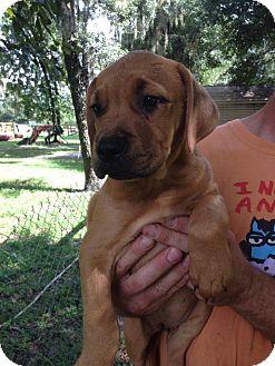 Pit Bull Terrier/Labrador Retriever Mix Puppy for adoption in Groveland, Florida - Maxine (9 weeks)