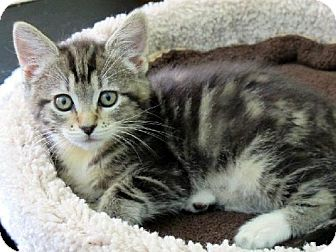 Domestic Shorthair Kitten for adoption in HILLSBORO, Oregon - Sioux