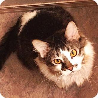 Maine Coon Cat for adoption in Bentonville, Arkansas - Rhett Butler