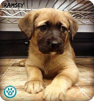 Shepherd (Unknown Type) Mix Puppy for adoption in Kimberton, Pennsylvania - Ramsey