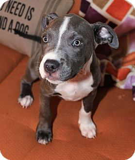 Boxer/Bulldog Mix Puppy for adoption in KITTERY, Maine - WILSON
