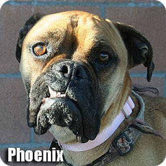 Boxer Dog for adoption in Encino, California - Phoenix