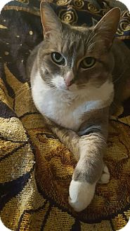 Domestic Shorthair Cat for adoption in Nashville, Tennessee - Maddee