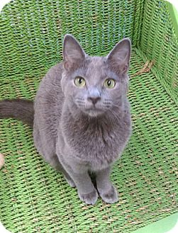 Domestic Shorthair Cat for adoption in Austintown, Ohio - Cosmo