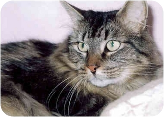 Domestic Longhair Cat for adoption in Medway, Massachusetts - Bandit