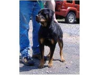 Rottweiler Dog for adoption in Huntingdon, Pennsylvania - Roshelle