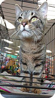 Domestic Shorthair Cat for adoption in Bensalem, Pennsylvania - Pickles