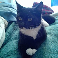 Domestic Shorthair Cat for adoption in Pickens, South Carolina - Stasch