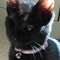 Domestic Shorthair Kitten for adoption in Duluth, Georgia - Isis