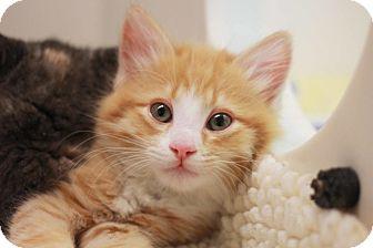 Domestic Mediumhair Kitten for adoption in Redwood City, California - Frankie