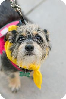 Miniature Schnauzer Mix Dog for adoption in Santa Fe, Texas - Charlie C