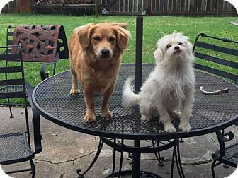 Maltese Mix Dog for adoption in Santa Fe, Texas - Falcor and Lady-love each other--N